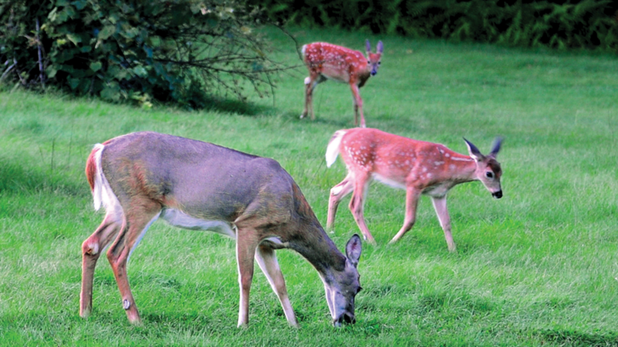 three deer grazing in a field